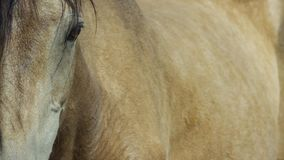 Wild Horse, Painted Mustang close up of beautiful blue eye. Dayton, Nevada stock photos
