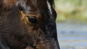 Wild Horse, Painted Mustang close up of beautiful blue eye. Dayton, Nevada royalty free stock image