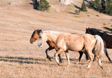 Wild Horse Palomino and Bay studs walking together on Sykes Ridge in the Pryor Mountain Wild Horse Range in Montana - Wyoming Royalty Free Stock Photos