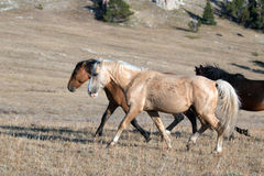 Wild Horse Palomino and Bay studs walking together on Sykes Ridge in the Pryor Mountains in Montana - Wyoming Stock Photo