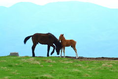 Wild horse paternal favors Royalty Free Stock Photography