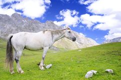 Wild horse. Royalty Free Stock Image