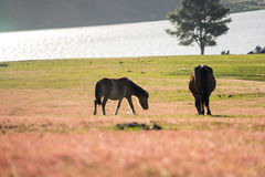 Wild horse on pink glass fiield- DALAT, VIETNAM. Wild horse on pink glass fiield, the field near by Lake, in the weeken some people camping here - DALAT, VIETNAM Royalty Free Stock Images