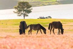 Wild horse on pink glass fiield- DALAT, VIETNAM. Wild horse on pink glass fiield, the field near by Lake, in the weeken some people camping here - DALAT, VIETNAM Royalty Free Stock Photo