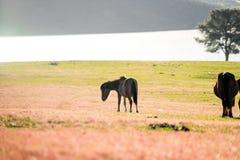 Wild horse on pink glass fiield- DALAT, VIETNAM. Wild horse on pink glass fiield, the field near by Lake, in the weeken some people camping here - DALAT, VIETNAM Stock Image