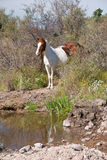 Wild Horse at Pool. A wild horse stops for water at a desert pool with mountains and cactus in the background stock images