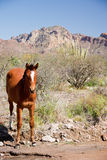 Wild Horse at Pool. A wild horse stops for water at a desert pool with mountains and cactus in the background royalty free stock photos
