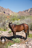 Wild Horse at Pool Royalty Free Stock Photography