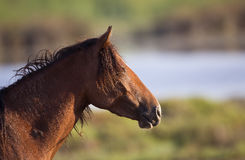 Wild Horse Portrait Royalty Free Stock Images