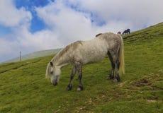 Wild horse portrait Stock Photos
