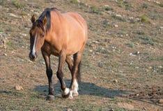 Wild Horse - Pregnant Buckskin Bay mare walking at sunrise in the Pryor Mountains Wild Horse Range in Montana USA Stock Photography