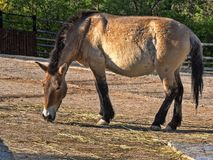 Only wild horse Przewalski`s horse, Equus przewalskii. The only wild horse Przewalski`s horse, Equus przewalskii Stock Photos