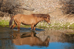 Wild Horse Reflected in river. Wild horse reflected in the salt river in arizona Royalty Free Stock Photos