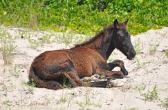 Wild horse resting on beach 02 Royalty Free Stock Image