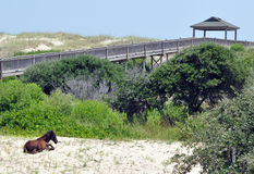 Wild horse resting on beach. Wild horse resting near boardwalk at the outer banks of North Carolina Stock Photography