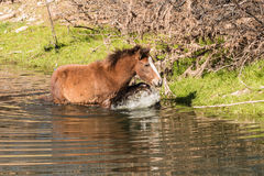 Wild Horse in River Stock Images