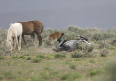 Wild horse rolling in dirt Royalty Free Stock Images