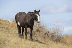 Wild horse in roosevelt national park Stock Image