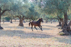 Wild horse running free. Royalty Free Stock Photography
