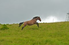 Wild horse running and jumping Stock Image