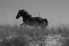 Wild horse running on sand dunes in OBX. Black wild Stallion B&W ohotoin Outer Bank in NC stock photography