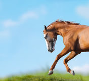 Wild horse runs closeup Royalty Free Stock Images