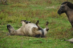Wild horse on its back. Wild horse playing on its back Royalty Free Stock Photos