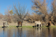 Wild Horse At the Salt River Royalty Free Stock Images