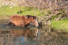 Wild Horse in  the Salt River Royalty Free Stock Images