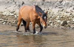 Wild Horse Walking in Stream Royalty Free Stock Images