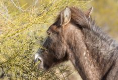 Wild Horse Eating a Palo Verde Tree. A wild horse of the salt river herd eating a palo verde tree in the Arizona desert Royalty Free Stock Photos