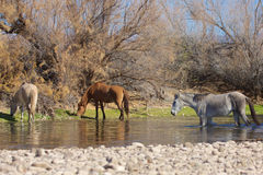 Wild Horse in the  Salt River Stock Photography