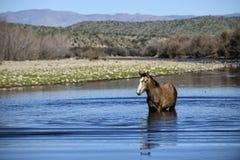 Wild horse Royalty Free Stock Photo