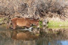 Wild Horse in Salt River Royalty Free Stock Photos