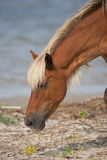 Wild Horse Searching for Food. A wild horse from Shackleford Banks, NC  searching for food along the water's edge Royalty Free Stock Images