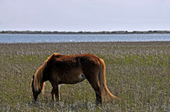 Wild Horse at Shackleford Banks Stock Image