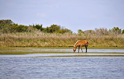 Wild Horse at Shackleford Banks Stock Photos