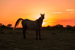 Wild Horse Silhouetted at Sunset in the Desert stock images