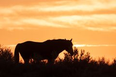Wild Horse Silhouetted at Sunset royalty free stock photo