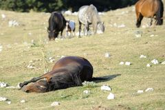 Wild Horse sleep Royalty Free Stock Image
