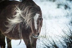Wild horse in the snow. Wild horse in the wind and snow Stock Photos
