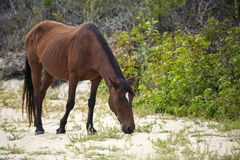Wild horse (Spanish Mustang) on a sandy beach Stock Images