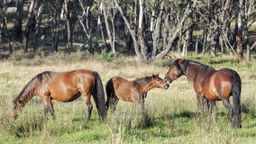 Wild horse Stallion and his foal. An Australian Brumby (wild Horse) foal chatting to his daddy stock images