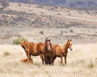 Wild horse Stallion and his herd. An Australian Brumby (wild Horse) stallion and his herd in the high country Stock Images