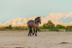 Wild Horse Stallion. A majestic wild horse stallion in the Utah desert Stock Photos