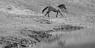 Wild horse stallion running next to water hole. Bay Dun Buckskin Stallion wild horse running next to water hole in the Pryor Mountains Wild Horse Range on the Royalty Free Stock Photography