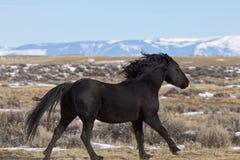 Wild horse stallion running in Wyoming royalty free stock image