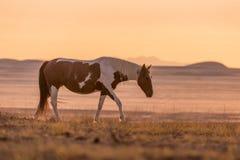 Wild Horse Stallion in the Sunset Stock Photos