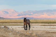 Wild Horse Stallion in the Utah Desert. A majestic wild horse stallion in the Utah desert Royalty Free Stock Image