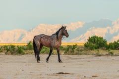 Wild Horse Stallion in the Utah Desert. A majestic wild horse stallion in the Utah desert Stock Image